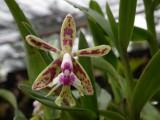 Orquídea da Chapada Diamantina Epidendrum