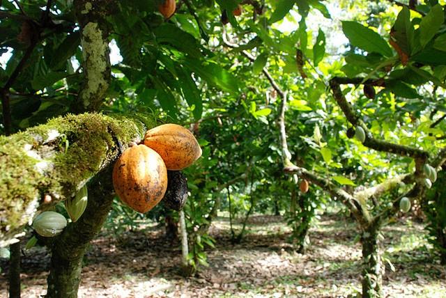 Fazendas de cacau atraem turistas ao sul da Bahia